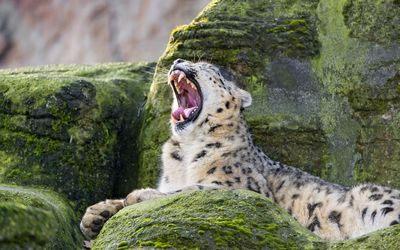 Yawning leopard Wallpaper