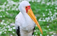 Yellow-billed stork wallpaper 3840x2160 jpg