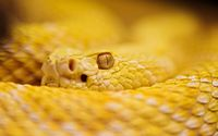 Yellow rattlesnake wallpaper 2560x1600 jpg