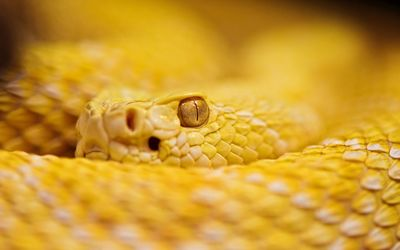 Yellow rattlesnake wallpaper