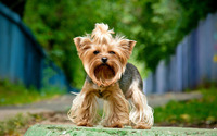 Yorkshire Terrier wallpaper 1920x1200 jpg