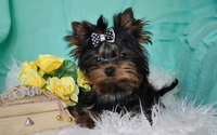 Yorkshire Terrier [2] wallpaper 2560x1600 jpg