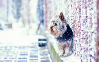 Yorkshire Terrier on the snowy street wallpaper 1920x1080 jpg