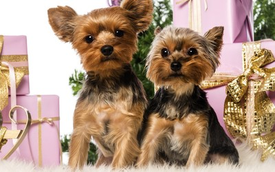 Yorkshire terrier puppies wallpaper