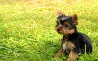 Yorkshire Terrier puppy [2] wallpaper 1920x1200 jpg