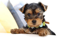 Yorkshire Terrier Puppy wallpaper 1920x1080 jpg