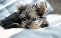 Yorkshire Terrier puppy [3] wallpaper 2560x1600 jpg