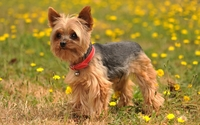 Yorkshire Terrier with a bell on its red collar wallpaper 1920x1200 jpg
