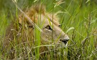 Young lion hiding in the tall grass wallpaper 1920x1080 jpg