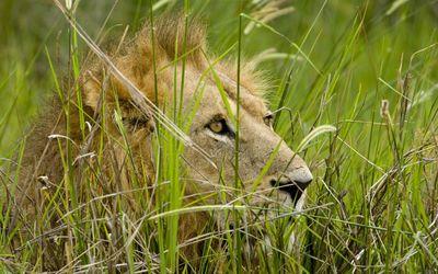 Young lion hiding in the tall grass wallpaper