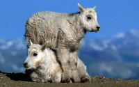 Young mountain goats wallpaper 1920x1080 jpg