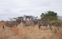 Zebras wallpaper 2880x1800 jpg