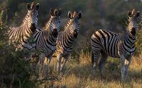 Zebras [2] wallpaper 1920x1080 jpg