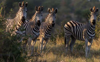 Zebras [2] wallpaper