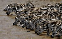Zebras drinking water from the river wallpaper 1920x1200 jpg