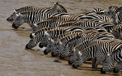 Zebras drinking water from the river Wallpaper