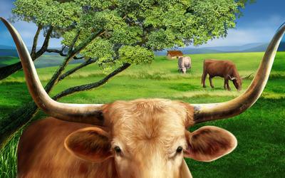 Bulls on the field wallpaper