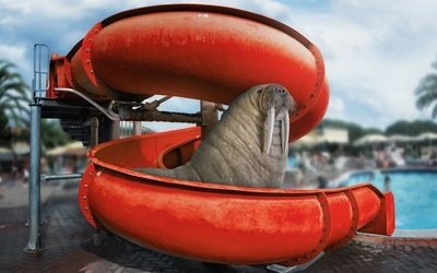 Walrus on the water slide wallpaper