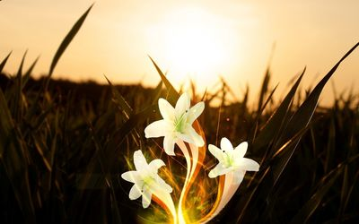 White lilies in the light wallpaper