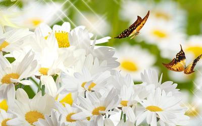 Butterflies on daisies wallpaper