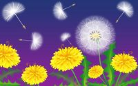Dandelions [3] wallpaper 2560x1600 jpg