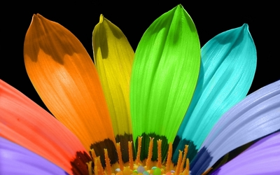 Flower with different colored petals wallpaper