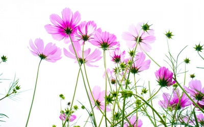 Pink cosmos wallpaper