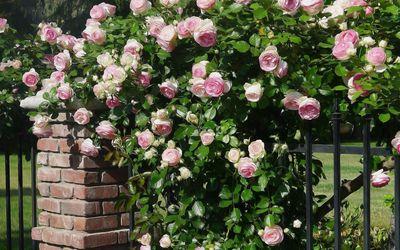 Pink roses [8] wallpaper