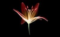 Red tulip wallpaper 1920x1080 jpg