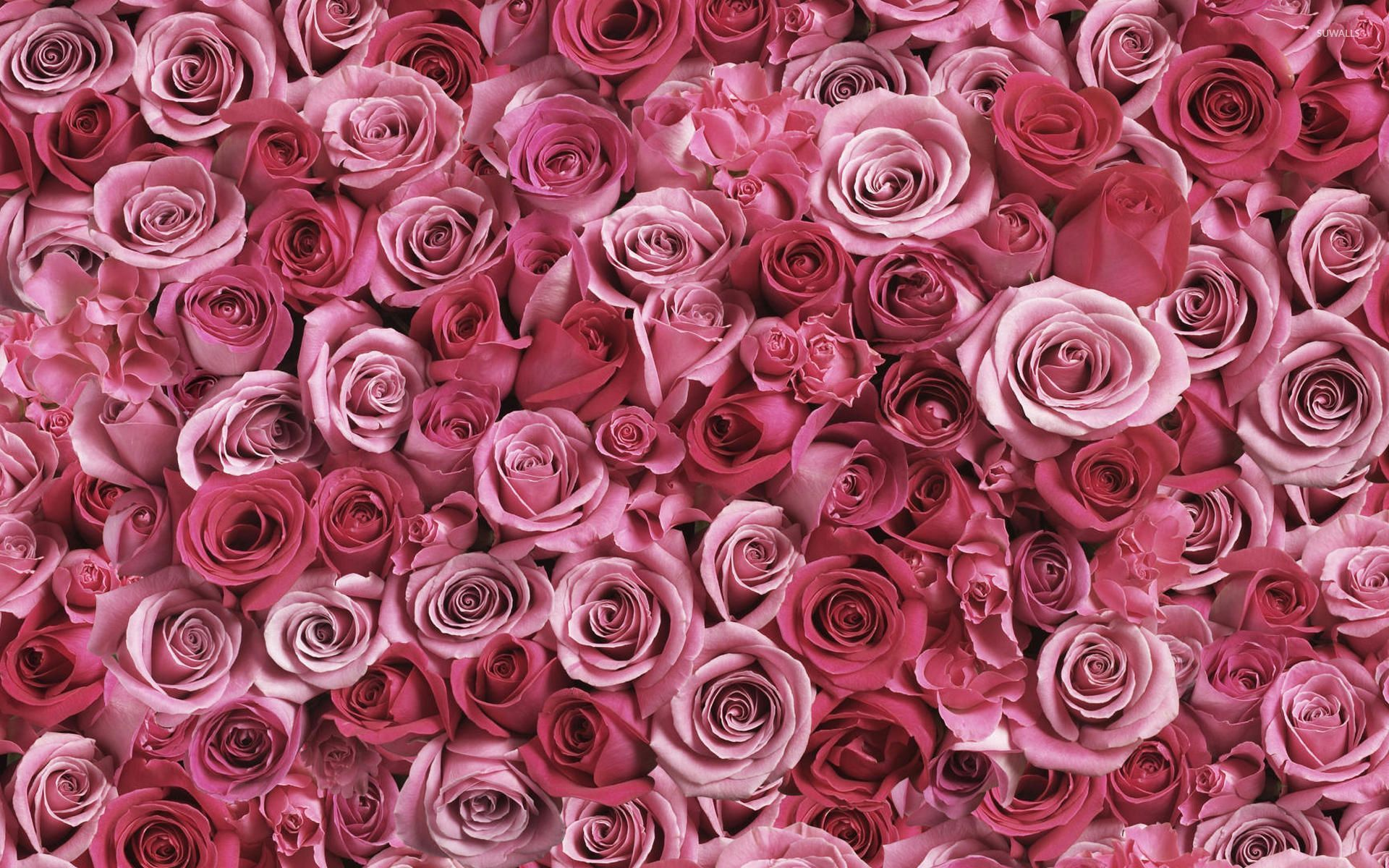 A lot of pink roses wallpaper flower wallpapers 53638 for Fond ecran rose
