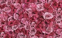 A lot of pink roses wallpaper 1920x1200 jpg