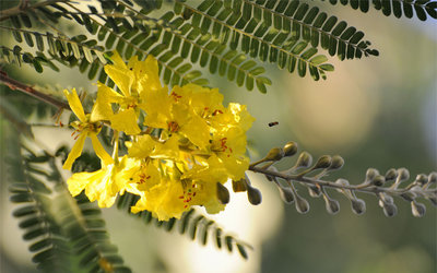 Acacia Flowers wallpaper