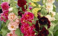 Alcea rosea wallpaper 2880x1800 jpg