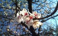 Almond Flower wallpaper 2560x1600 jpg