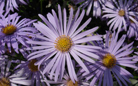 Alpine aster wallpaper 2560x1600 jpg