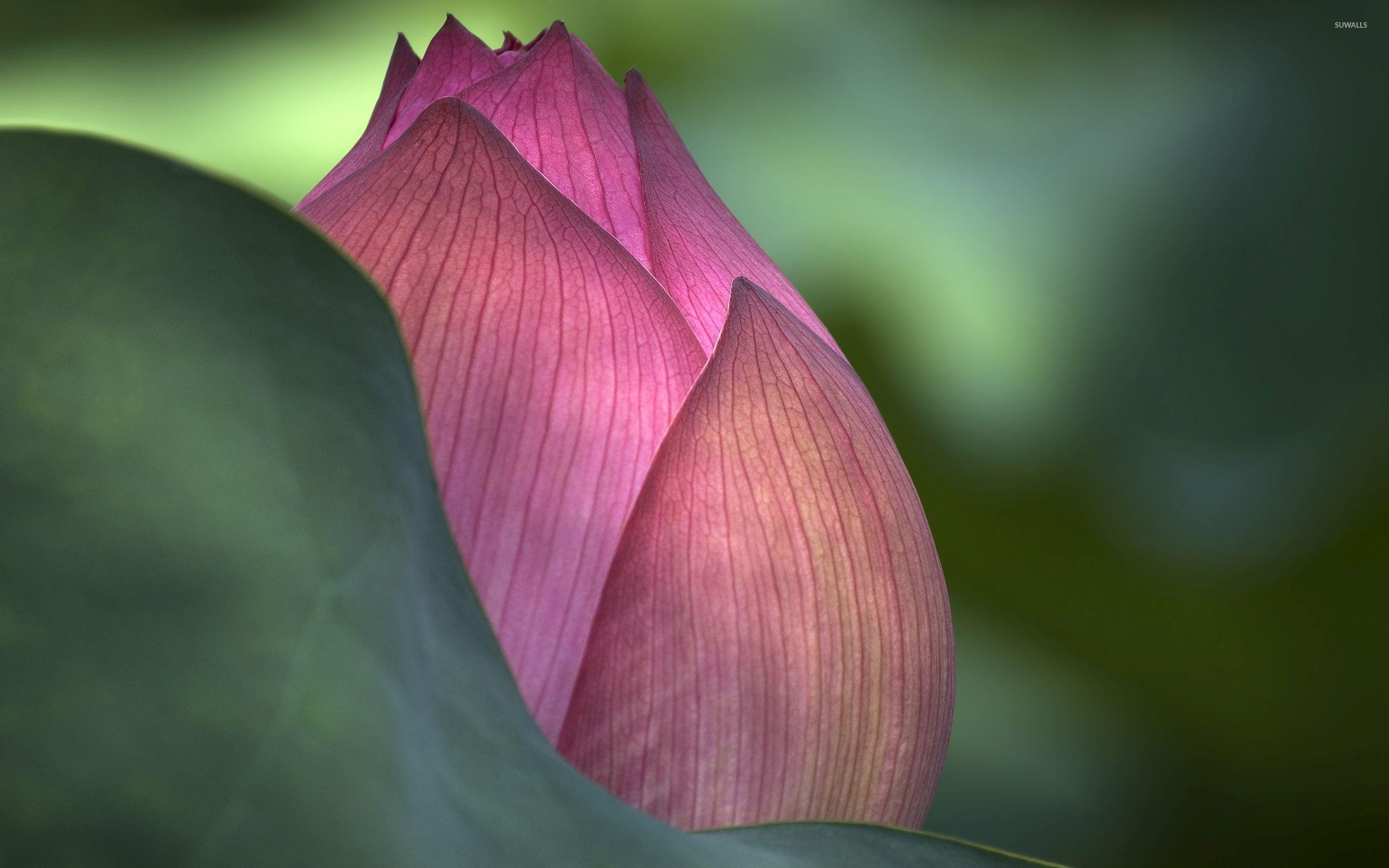 Amazing Lotus Bud Close Up Wallpaper