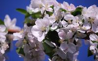 Apple blossoms wallpaper 2560x1600 jpg