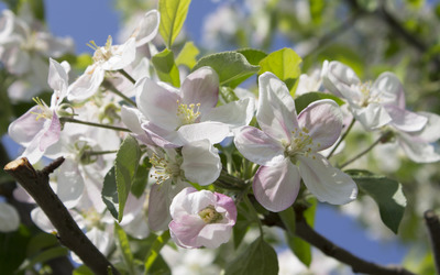 Apple blossoms [3] wallpaper