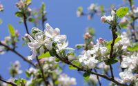 Apple branch in the spring sunshine wallpaper 2560x1600 jpg
