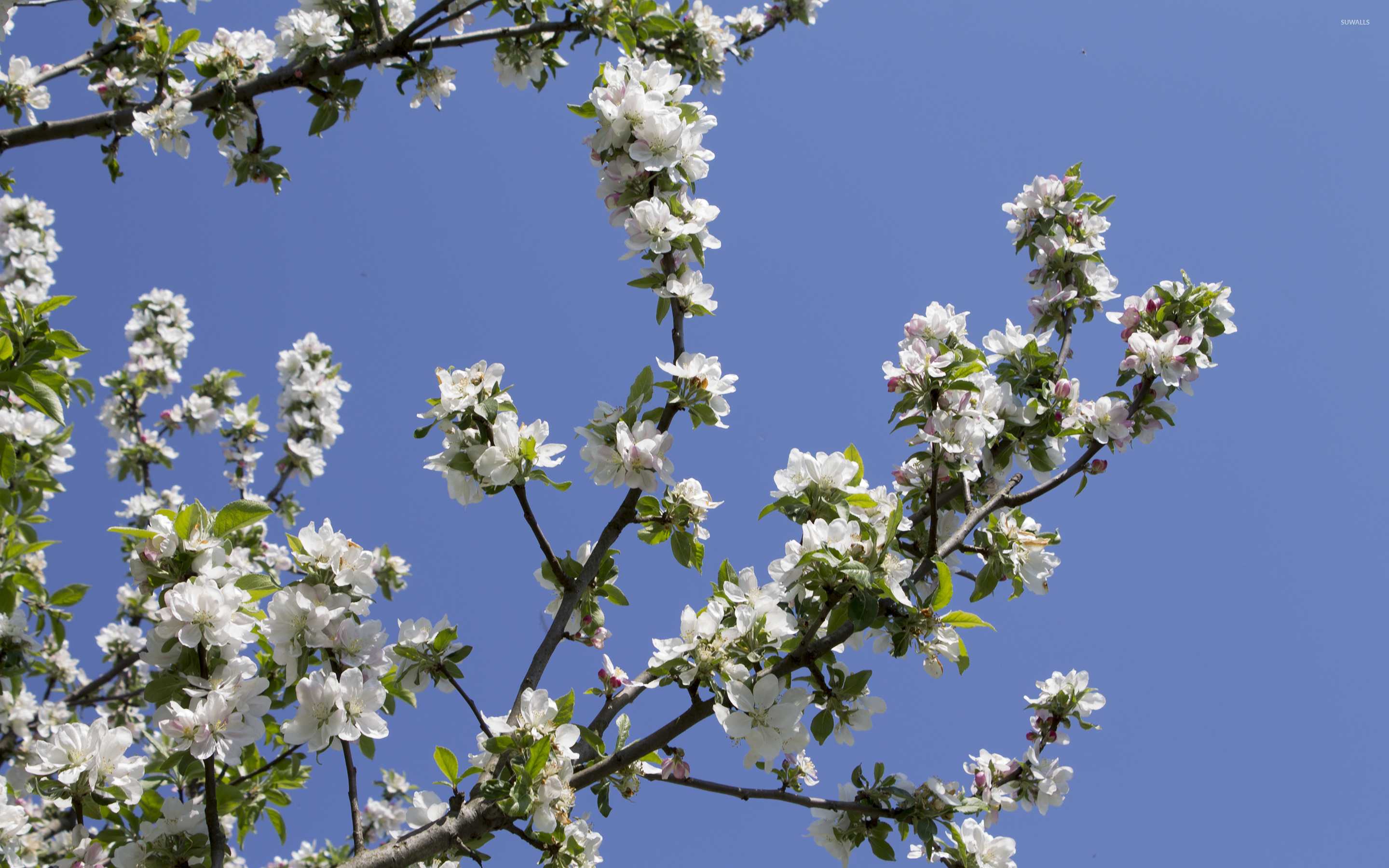 apple tree branch wallpaper flower wallpapers 42001