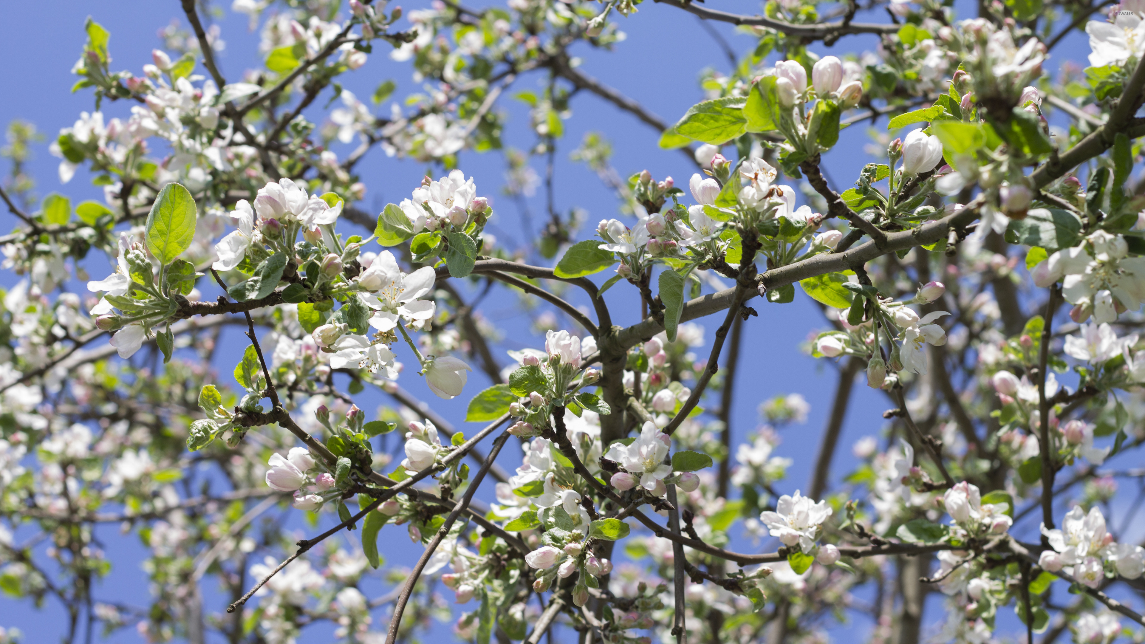 apple tree branches 2 wallpaper flower wallpapers 42002