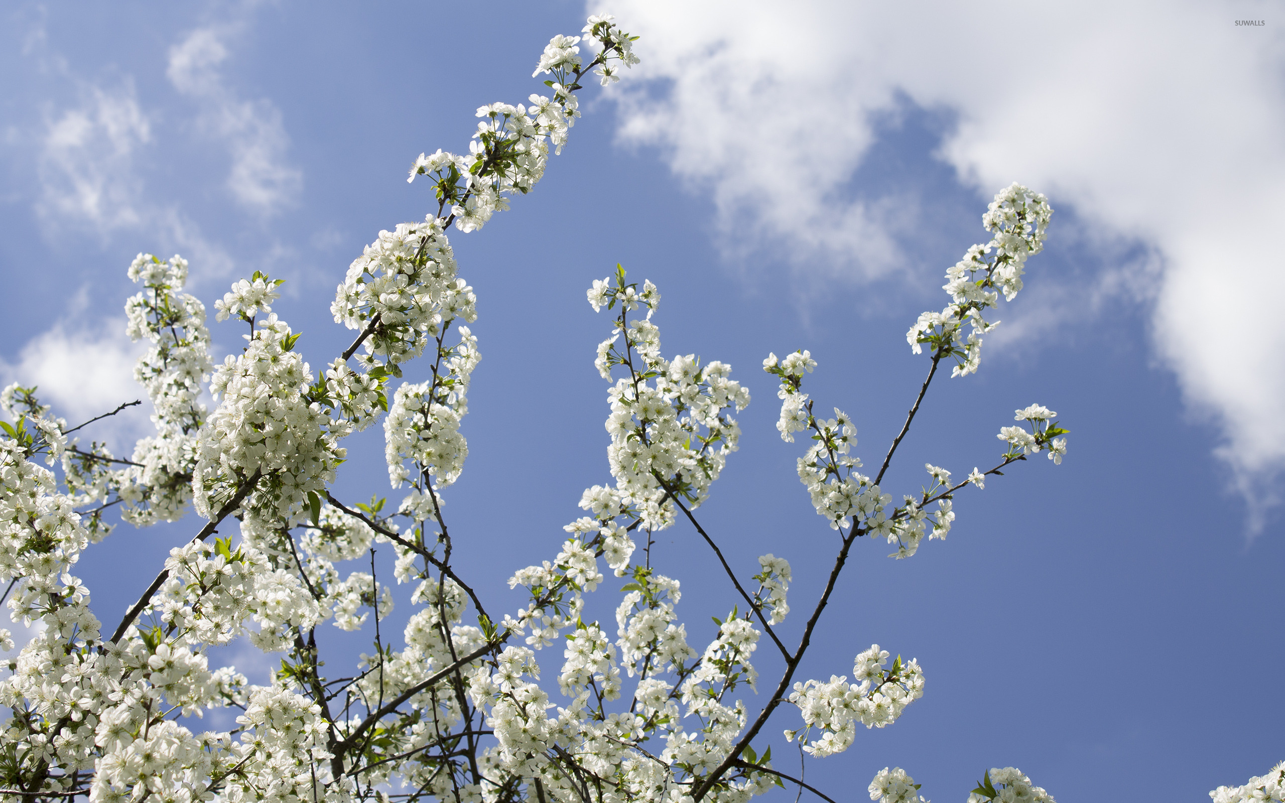 apple tree branches wallpaper flower wallpapers 42003