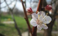 Apricot blossom wallpaper 2560x1600 jpg