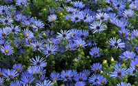 Asters wallpaper 1920x1200 jpg