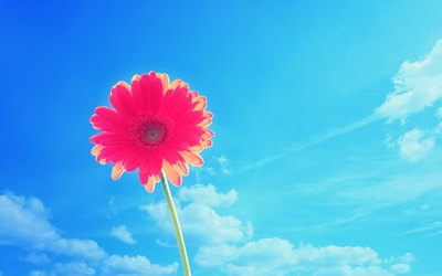 Beautiful gerbera rising towards the sky wallpaper
