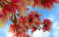 Beautiful magnolias wallpaper 1920x1080 jpg