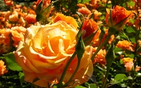 Beautiful orange fresh rose buds wallpaper 1920x1200 jpg