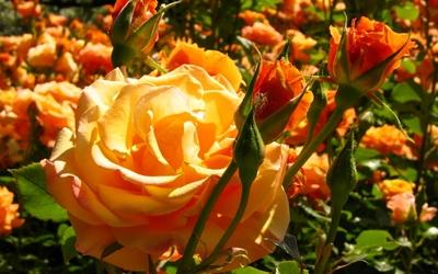 Beautiful orange fresh rose buds wallpaper