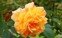 Beautiful orange rose wallpaper 1920x1200 jpg