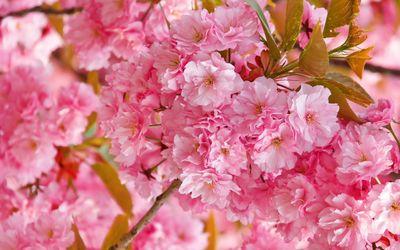 Beautiful pink blossoms wallpaper